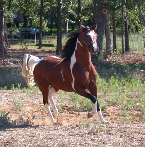 Arabian Horse Colors Tri-color Pinto Arabian