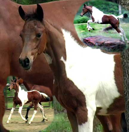 World Champion bred Tri Coloured Pinto Arabians Foals for sale